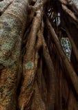 Close up of Strangler Fig Stock Photos