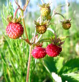 Close up of strawberries. Many wild strawberries in field - green and red royalty free stock image