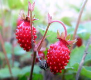 Close up of strawberries. Many wild strawberries in field - green and red stock photo