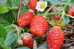 Close-up of the strawberry Stock Images