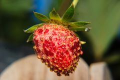 Close-up of strawberry diseased. In the garden Stock Photos
