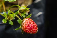 Close-up of strawberry diseased. In the garden Stock Photo