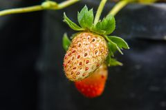 Close-up of strawberry diseased. In the garden Royalty Free Stock Image
