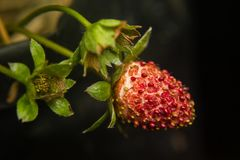 Close-up of strawberry diseased. Lose-up of strawberry diseased in the garden Royalty Free Stock Image