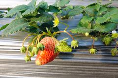 Strawberry. The close-up of strawberry fruits. Scientific name: Fragaria ananassa Stock Photo