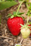 Strawberry grows in the garden. Royalty Free Stock Images
