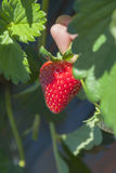 Close up Strawberry Stock Images