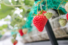 Close up - Strawberry in strawberry planting Stock Images