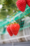 Close up - Strawberry in strawberry planting Stock Photo