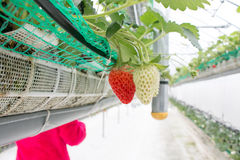 Close up - Strawberry in strawberry planting Royalty Free Stock Photos