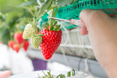 Close up - Strawberry in strawberry planting Royalty Free Stock Photography
