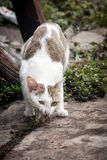 Close up stray cat eating on the floor Royalty Free Stock Photos