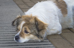 Close-up of stray dog 3 Stock Images