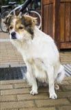 Close-up of stray dog 2 Royalty Free Stock Image