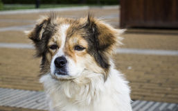 Close-up of stray dog Royalty Free Stock Image