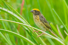 Close up of Streaked Weaver Royalty Free Stock Photos