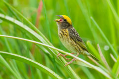 Close up of Streaked Weaver. (Ploceus manyar) in sing in the rain in nature at Phetchaburi in Thailand Stock Images
