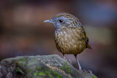 Close up of Streaked Wren Babbler (Napothera brevicaudata ) Royalty Free Stock Photos