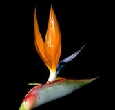 Close up of Strelitzia reginae is a monocotyledonous flowering plant indigen Stock Image