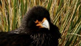 Close up of Striated Caracara, Falkland Islands stock video