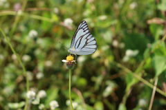 Close up of Striped Albatross butterfly on weed flower. Stock Image