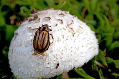 Close Up Of Striped Beetle Crawling On Sprouted Mushroom Stock Image