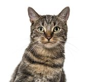 Close-up on a striped mixed-breed cat (2 years old) isolated on Royalty Free Stock Photos