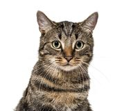 Close-up on a striped mixed-breed cat (2 years old) isolated on royalty free stock image