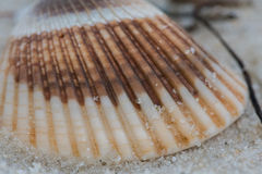 Close up of Striped Shell Royalty Free Stock Photo