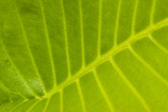 Close up Structure of Green Leaf Stock Image