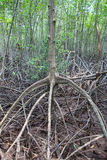 Close up stucture of mangrove tree root on mud flat sea coastal royalty free stock photography