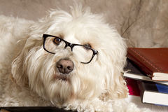 Close-up of a Studious Dog Wearing Reading Glasses/Books Royalty Free Stock Image