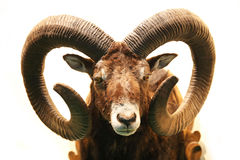 Close up of stuffed male mouflon with big curved horns on white. Mouflon hunting trophy isolated on white background Stock Photo