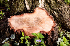 Close-up on a stump of a tree felled. Royalty Free Stock Photos