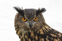 A close up of a stunning Great horned owl royalty free stock photography