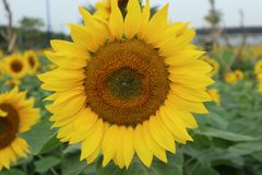 Sunshine in a sunflower stock photography