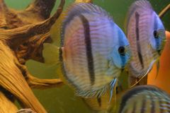 Close up of group of Discus fish in tropical aquariums. Close up of stunningly pretty Discus group of fish in tropical waters of aquarium freshly shipped from stock photos