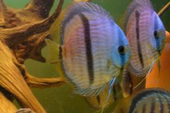 Close up of group of Discus fish in tropical aquariums. Close up of stunningly pretty Discus group of fish in tropical waters of aquarium freshly shipped from stock image