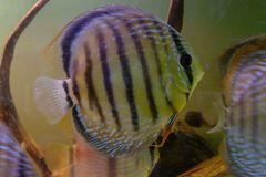 Close up of group of Discus fish in tropical aquariums. Close up of stunningly pretty Discus group of fish in tropical waters of aquarium freshly shipped from stock photo