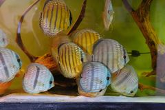 Close up of group of Discus fish in tropical aquariums. Close up of stunningly pretty Discus group of fish in tropical waters of aquarium freshly shipped from stock photography