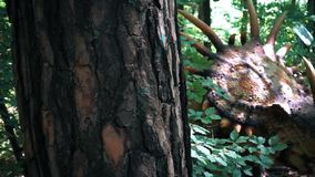 Close up of Styracosaurus dinosaur in wild forest, panning behind tree, slow motion. Hd video stock video footage