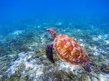 Close up subaquático da tartaruga de mar Close up da tartaruga de mar verde Espécie em vias de extinção de recife de corais tropi imagem de stock