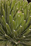 Close up of succulent cactus Royalty Free Stock Photo