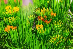 Close-up succulent green plant with yellow flowers. In Africa royalty free stock images