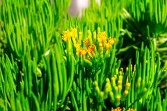 Close-up succulent green plant with yellow flowers. In Africa royalty free stock photography