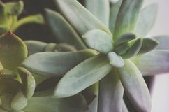 Close up succulent plant, flowers Stock Photo