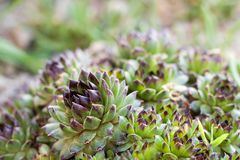 Close up of succulent plant, sempervivum tectorum Stock Photography