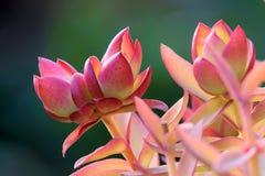 Succulent plants. The close-up of succulent plants stock image