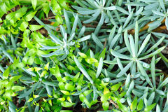 Close up of succulent (Sedum) and creeper Stock Photos