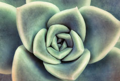 Close up Succulent. Top view, close up view of a succulent plant Stock Photography